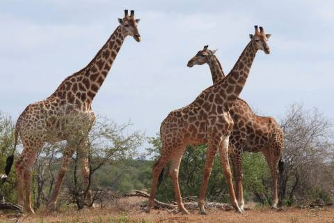 In a photo taken Jan. 1, 2015, giraffe are seen in the Kriger National Park, South Africa. An i ...