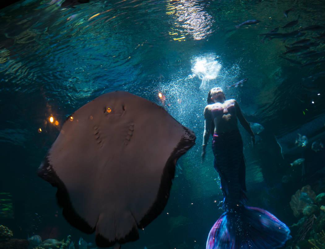 McKenzie Kawano, who works as a mermaid at the aquarium at the Silverton, swims toward the surf ...