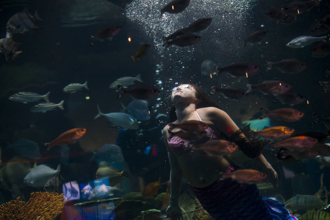 McKenzie Kawano, who works as a mermaid at the aquarium at the Silverton, swims toward the surf ...