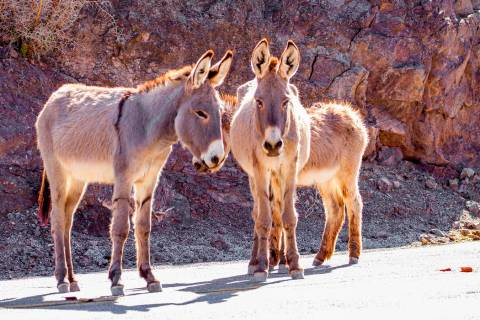 This undated photo provided by the U.S. Bureau of Land Management shows two feral burros in the ...