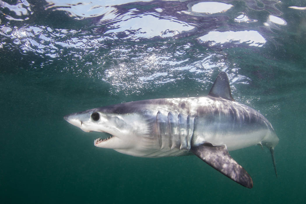 This undated photo made available by The Pew Charitable Trusts shows the mako shark swimming in ...