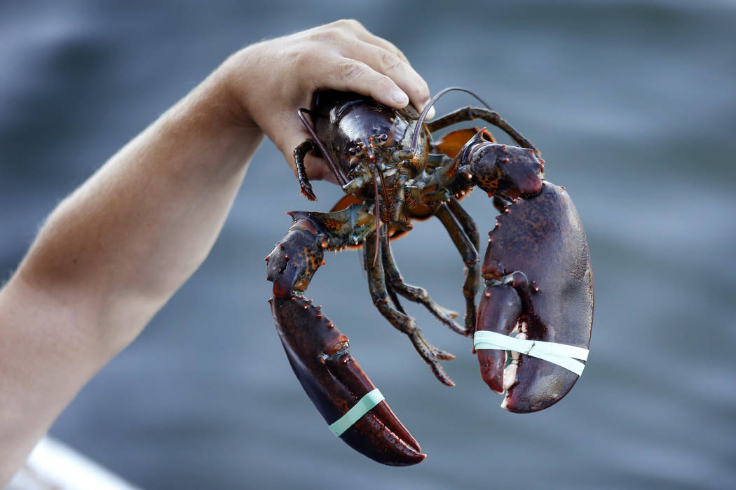 In this Saturday, Aug. 24, 2019, photo a 3.5 pound lobster is held by a dealer at Cape Porpoise ...