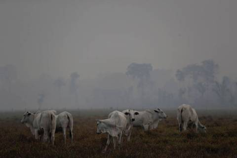 Amid smoke from forest fires, cattle graze on a farm along the road to Jacunda National Forest, ...