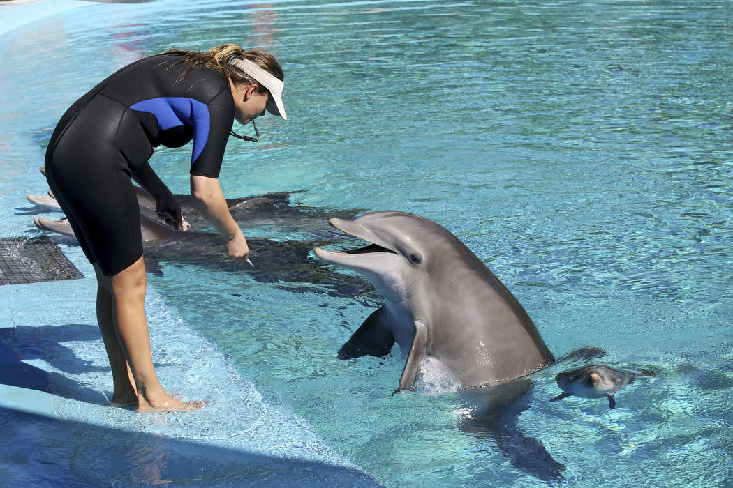 Trainer Amanda Meyer feeds mother Bella as Bella's baby swims nearby at Siegfried & Roy's S ...