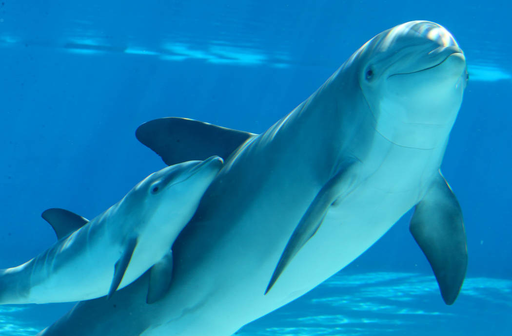 A baby dolphin swims with its mother Bella at Siegfried & Roy's Secret Garden and Dolphin H ...