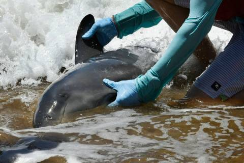 A worker handles a melon-headed whale stranded on a beach in Kihei, Hawaii on Thursday, Aug. 29 ...