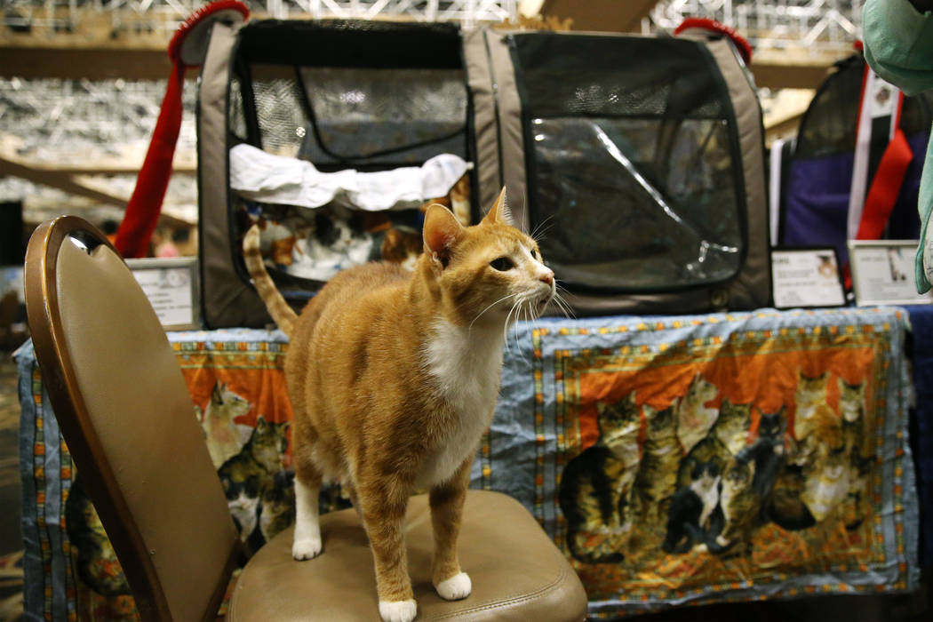 Duke, a 16-year-old household cat, one of the oldest cats competing during The International Ca ...