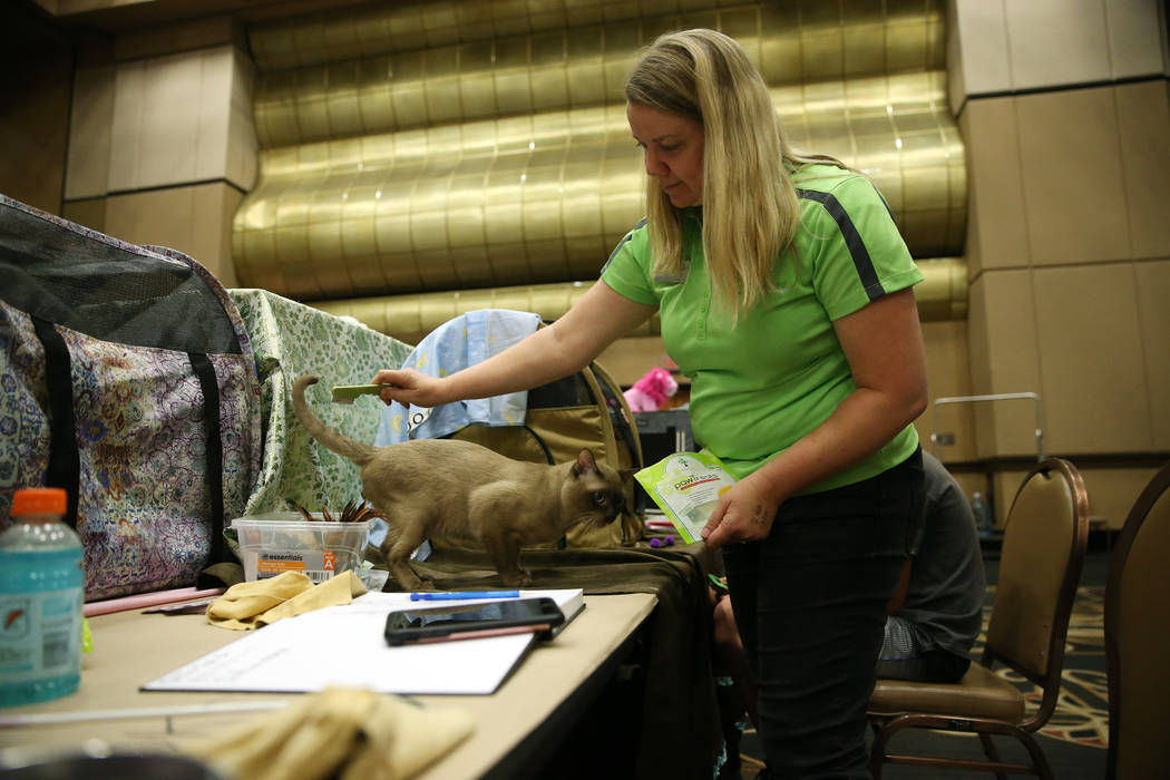 Heather Gibson of Utah grooms her cat Chewbacca for showing during The International Cat Associ ...