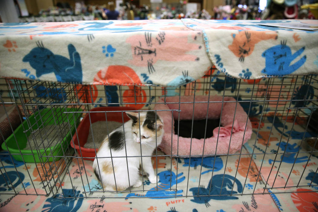 An adoptable cat from Lori's Cats during The International Cat Association's (TICA) 40th ...