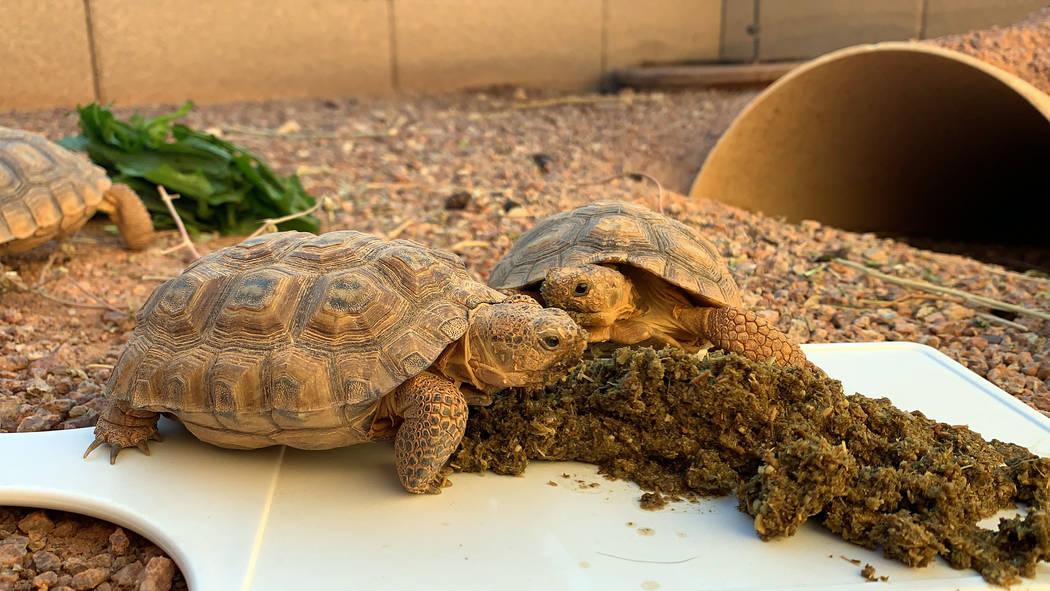 Desert tortoises eat breakfast at a habitat run by the Las Vegas Tortoise Group on Wednesday, A ...