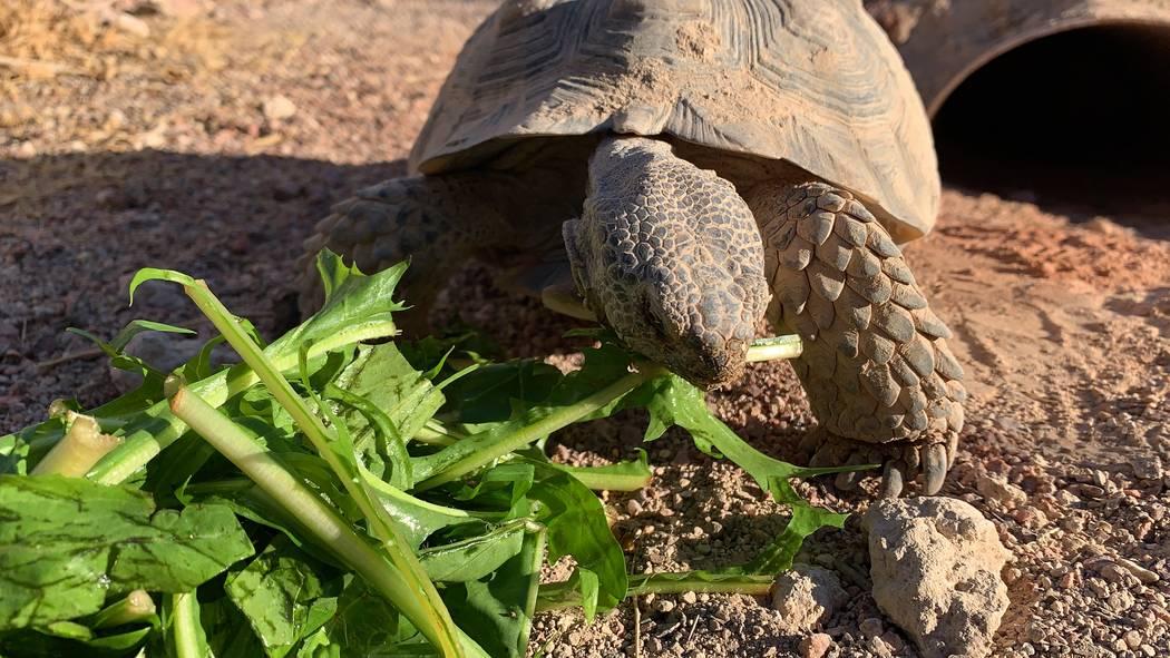 A desert tortoises at a habitat run by the Las Vegas Tortoise Group on Wednesday, August 14, 20 ...