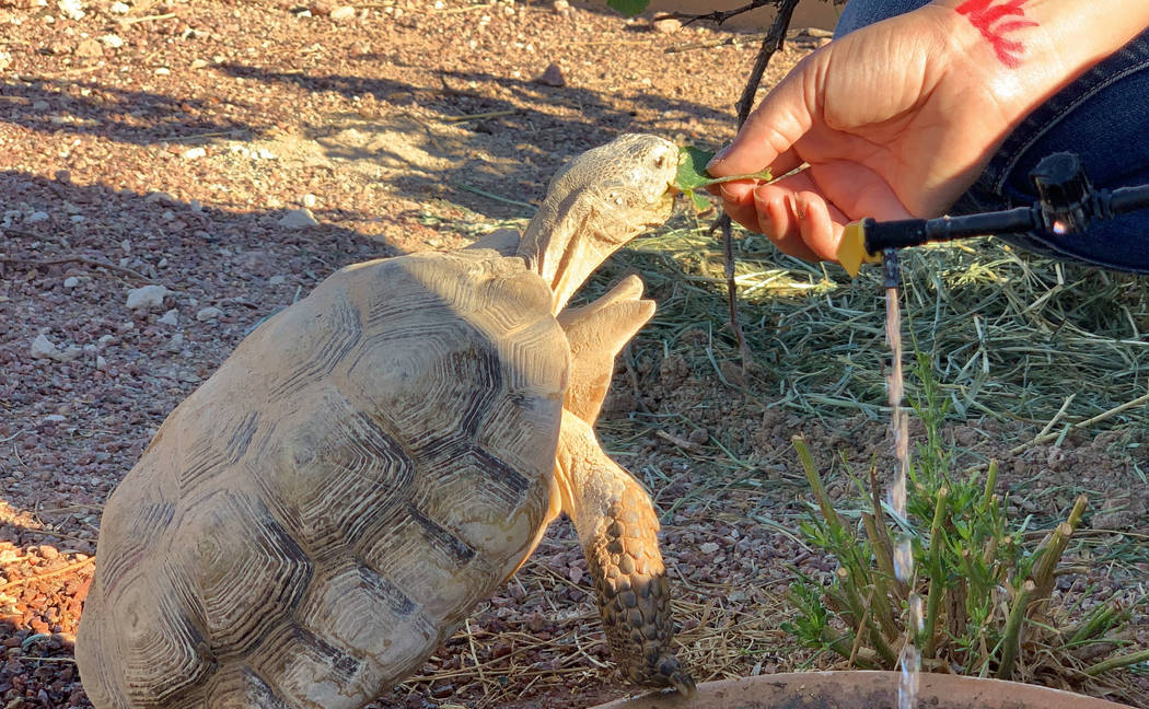 Las Vegas Tortoise Group biologist Sarah Mortimer feeds a desert tortoise at a habitat run by t ...