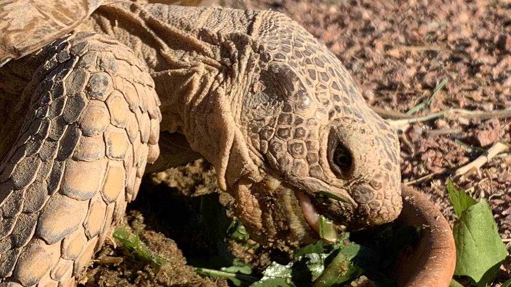 A desert tortoises at a habitat run by the Las.Vegas Tortoise Group on Wednesday, August 14, 20 ...