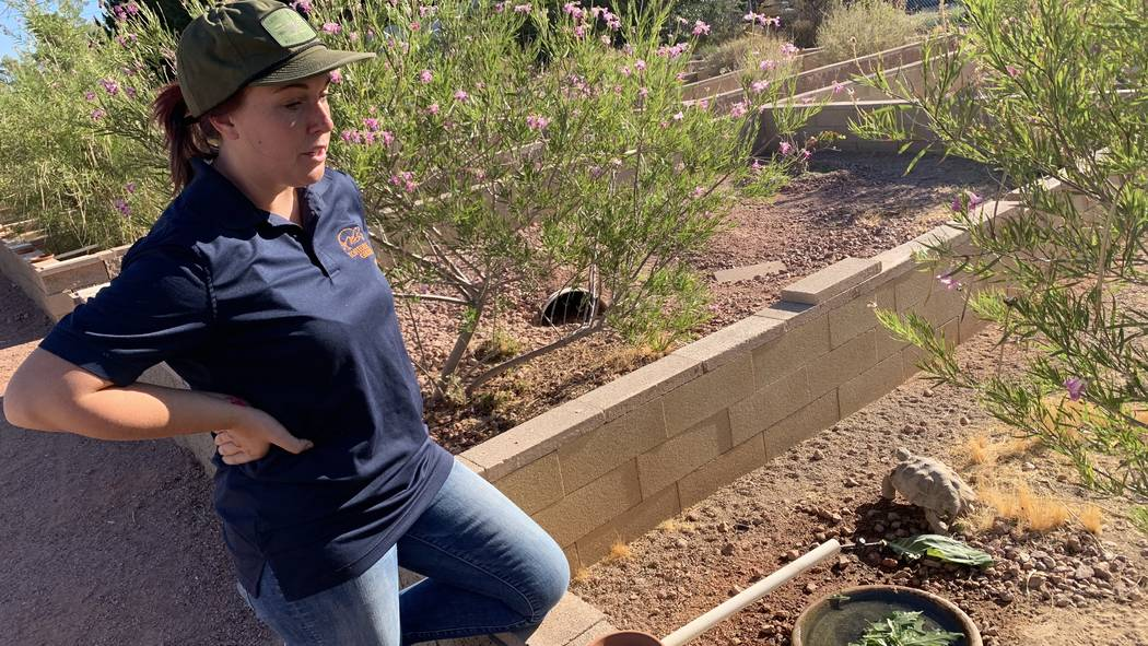 Sarah Mortimer, biologist with the Las Vegas Tortoise Group, feeds a tortoise at their habitat ...