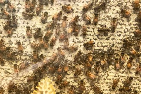 A honeybee exhibit is shown Aug. 28 at the Henderson Bird Viewing Preserve. (Julie Wootton-Gree ...