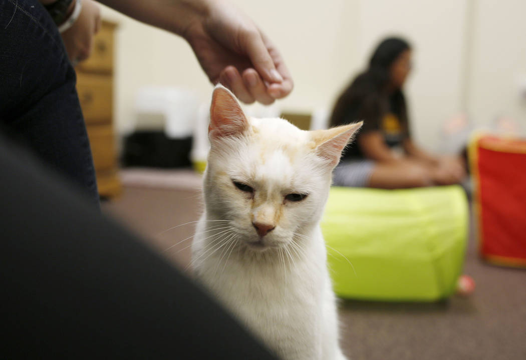 An adoptable cat is pet at the Rescued Treasures Cat Cafe, Tuesday, Aug. 6, 2019, in Las Vegas. ...
