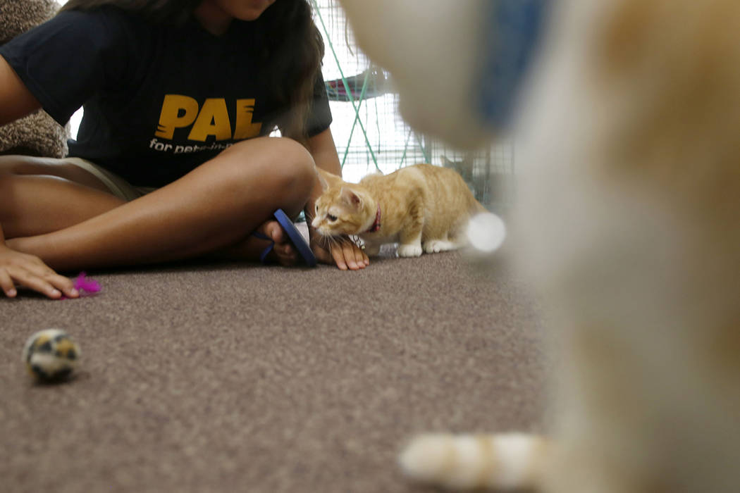 Malena Maestas, 13, plays with an adoptable cat at the Rescued Treasures Cat Cafe, Tuesday, Aug ...