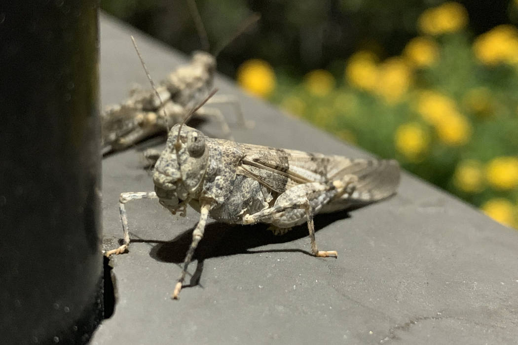 Grasshoppers are seen near North Hualapai Way and 215 Beltway in Northwest Las Vegas on Thursda ...