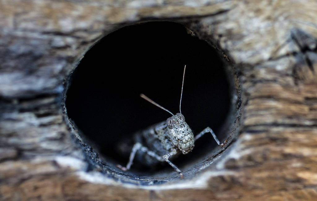 In a Thursday, July 25, 2019 photo, a grasshopper rests on a wall outside California Pizza Kitc ...