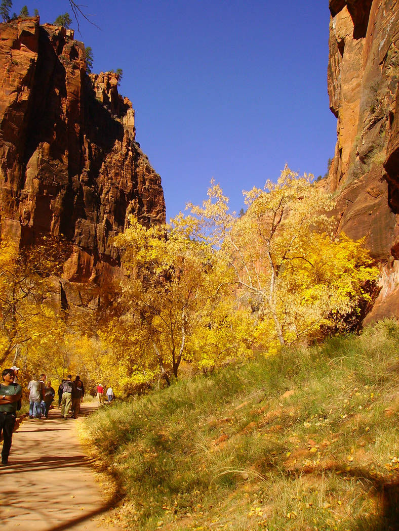 The deciduous trees along the Riverside Walk in Zion National Park usually start to turn colors ...