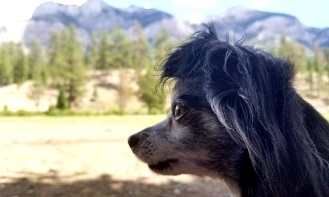 Before a hike in late July, Chica Burt takes in mountain views at Lower Lee Meadows at nearby M ...