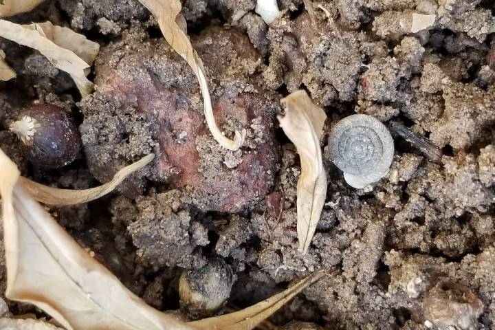 A snail shell can be seen in the dirt. The availability of food and moisture make a perfect bre ...