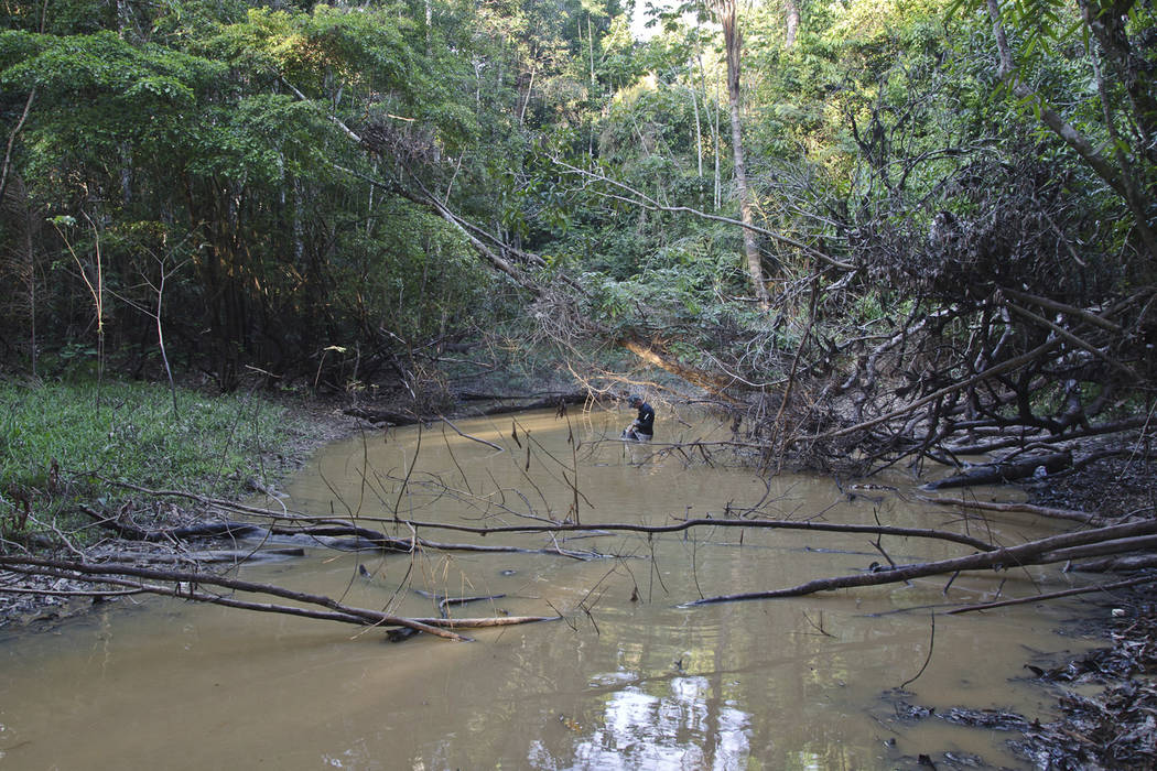 This undated photo provided by researchers in September 2019 shows typical electric eel lowland ...