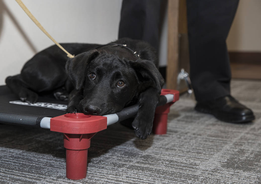 Blaze, a 5-month-old black lab and golden retriever mix, sits at Fire Station One in Las Vegas, ...