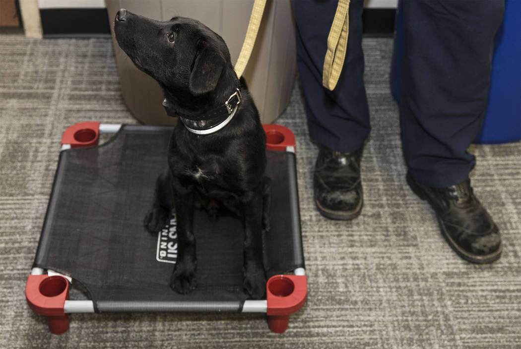 Blaze, a therapy dog assigned to Fire Station One, waits for the start of an event to introduce ...