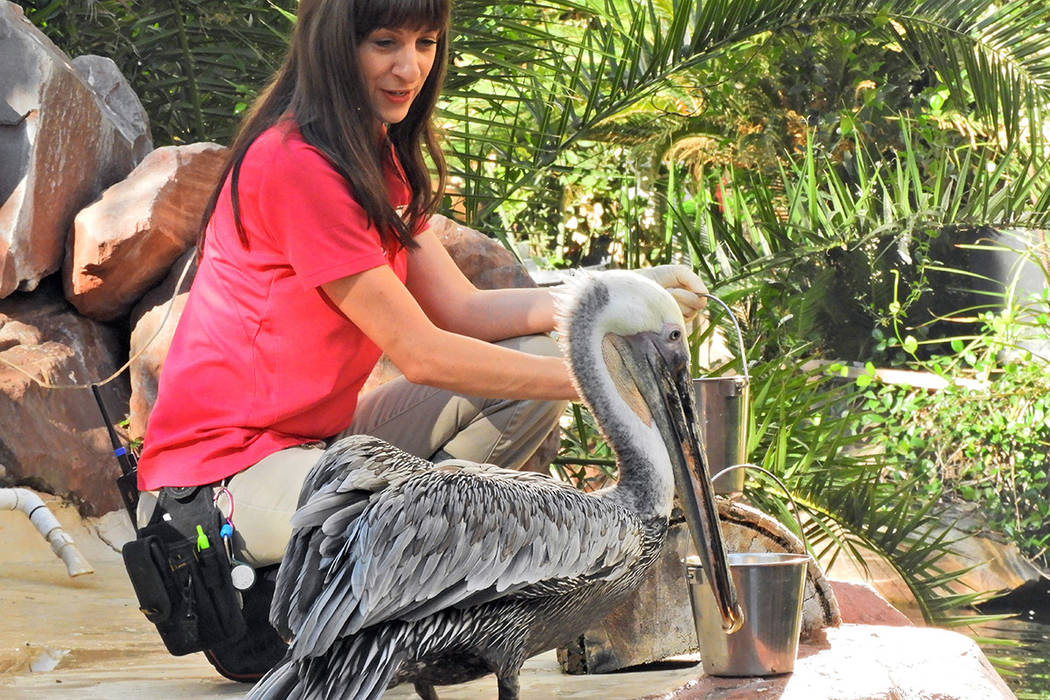 Virginia the pelican gets breakfast at the Flamingo casino and resort, on Thursday, September 1 ...