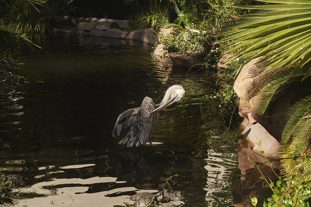 A California Brown Pelican brushes off his feathers with his beak at Flamingo on Thursday, Sept ...