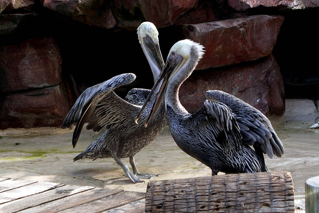 Bugsy and Virginia the pelicans at the Flamingo casino and resort, on Thursday, September 12, 2 ...