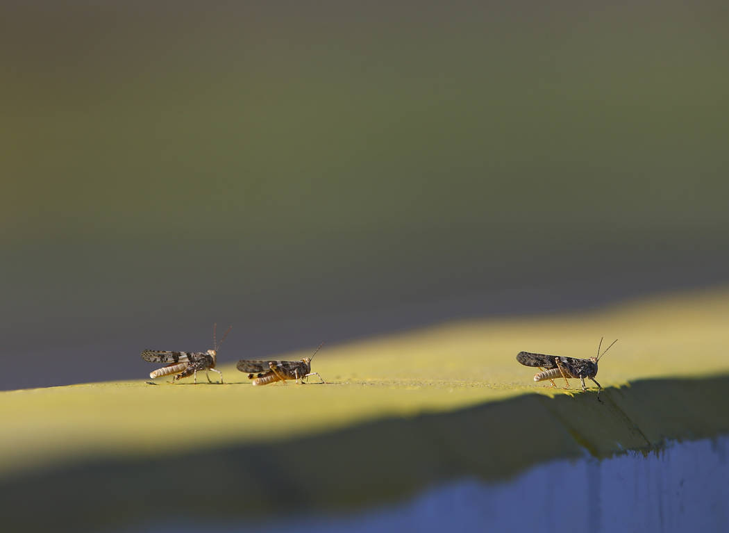 Grasshoppers hang out around pit road during qualifying for the Monster Energy NASCAR Cup Serie ...