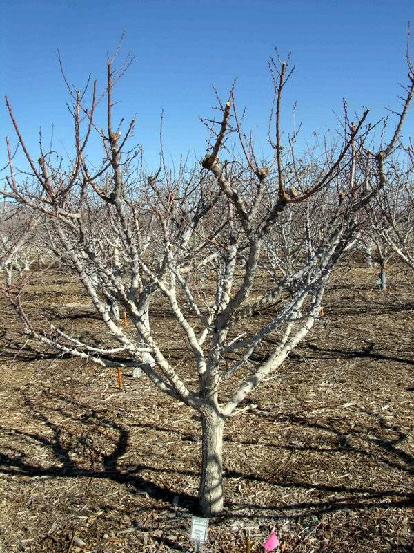 Major pruning is done from December to January in all deciduous fruit trees, waiting until leaf ...