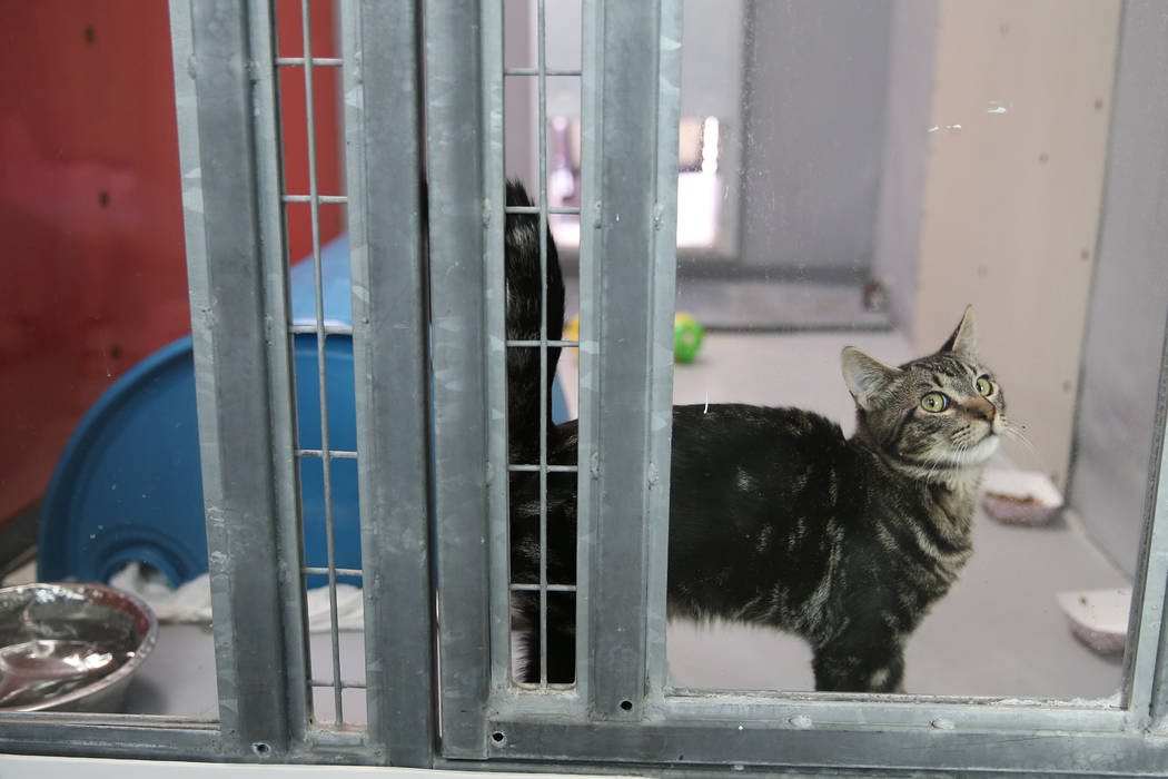 A confiscated cat from the Las Vegas home of Susan Mechsner, at the The Animal Foundation in La ...