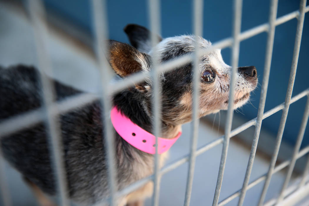 A confiscated dog from the Las Vegas home of Susan Mechsner, at the The Animal Foundation in La ...
