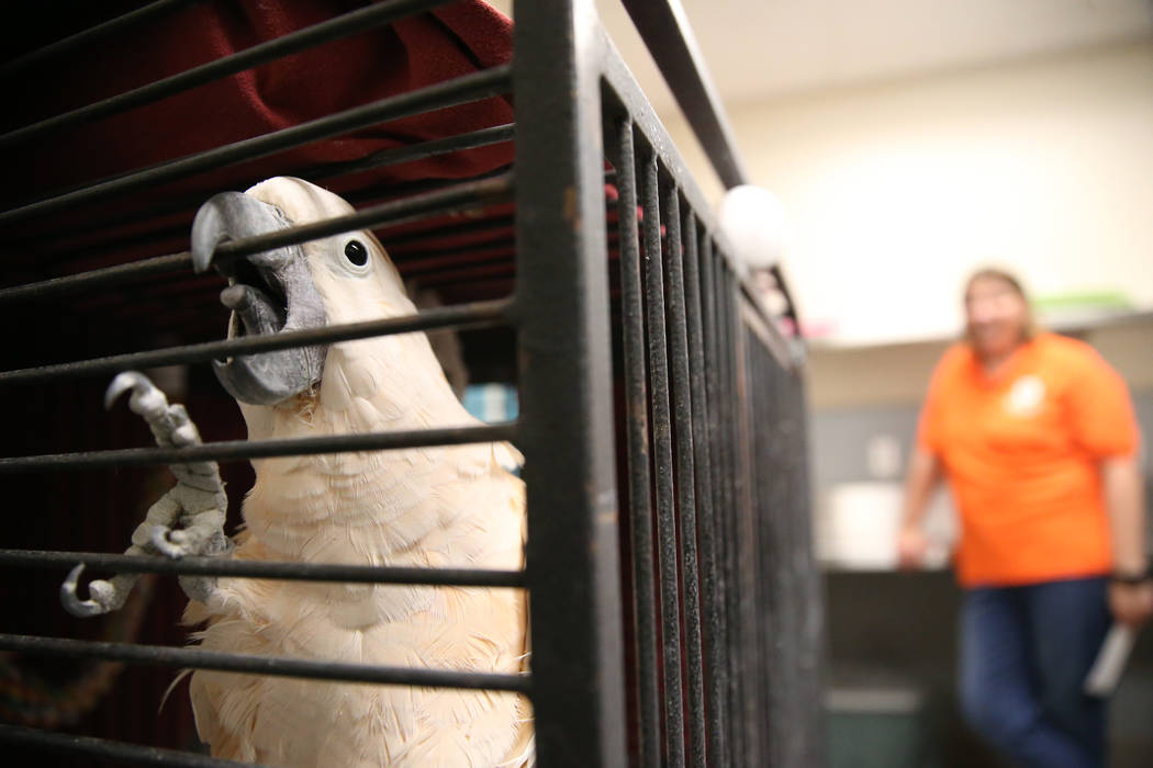 A confiscated cockatoo from the Las Vegas home of Susan Mechsner, at the The Animal Foundation ...