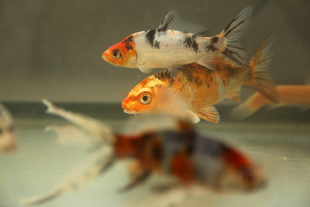 Confiscated fish from the Las Vegas home of Susan Mechsner, at the The Animal Foundation in Las ...