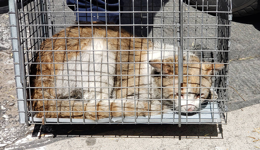 A stray cat rests in a cage after being rescued from a car bumper in Las Vegas on Sept. 15, 201 ...
