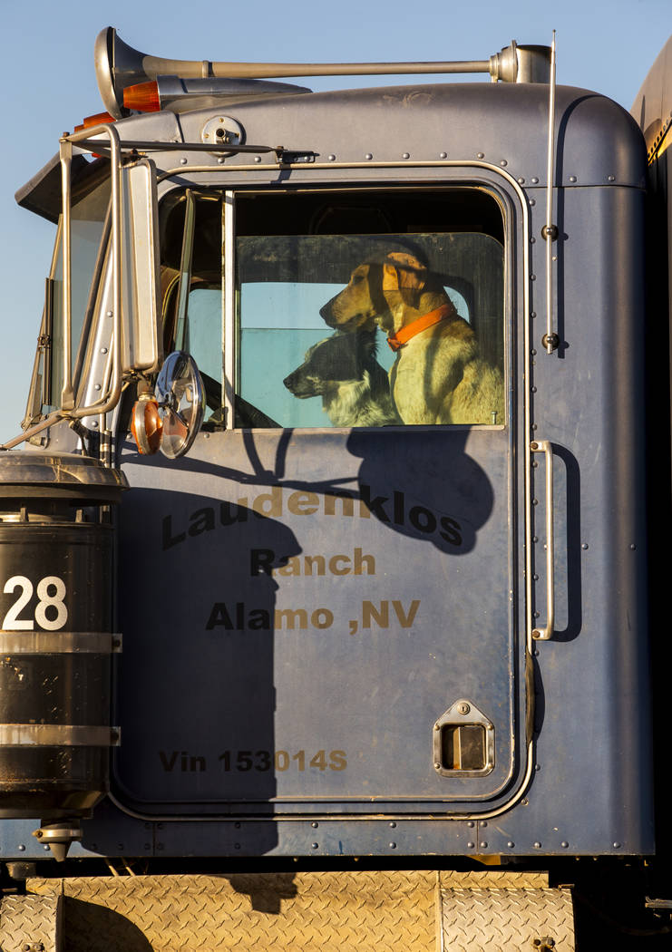 Two dogs sit in the seats of a tractor trailer parked across from the Little A'Le'Inn which is ...