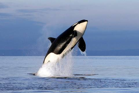FILE - In this Jan. 18, 2014, file photo, an endangered female orca leaps from the water while ...