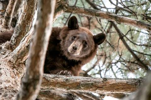 In this photo provided by the Utah Division of Wildlife Resources is a 2-year-old bear in a tre ...