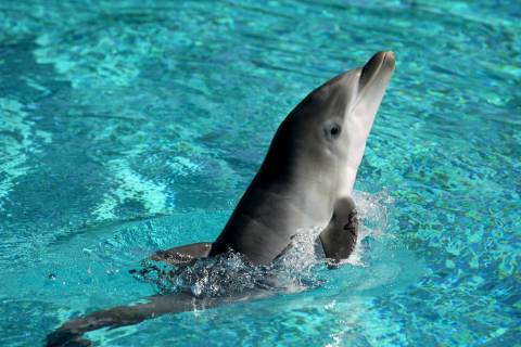 A baby dolphin swims at Siegfried & Roy's Secret Garden and Dolphin Habitat at The Mirage in La ...