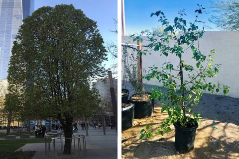 The 9/11 Survivor Tree, left, at the Sept. 11 memorial in New York City produced a seedling, ri ...