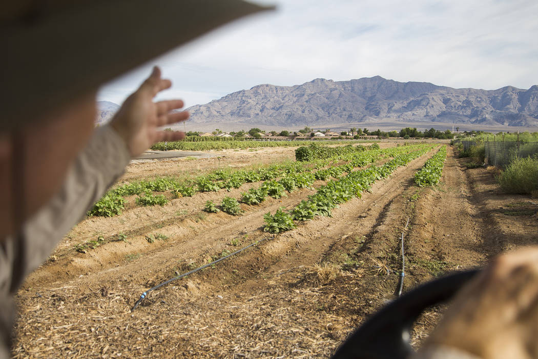 Mark Ruben, director of Gilcrease Orchard, shows the Review-Journal green bean crops at Gilcrea ...