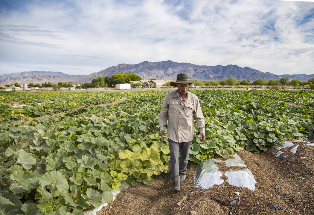 Mark Ruben, director of Gilcrease Orchard, shows the Review-Journal the pumpkin field at Gilcre ...