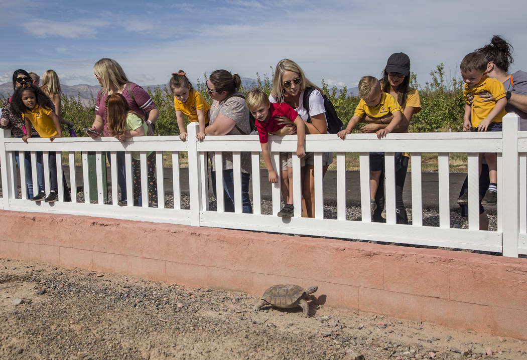 Families watch a desert tortoise at Gilcrease Orchard in Las Vegas, Thursday, Sept. 26, 2019. ( ...
