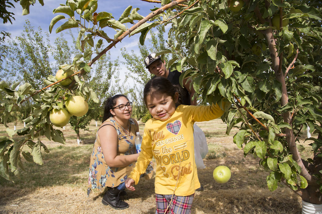 Gennive Banda and her husband Jerry Reyes watch their daughter Emma Reyes, 4, pull an apple off ...