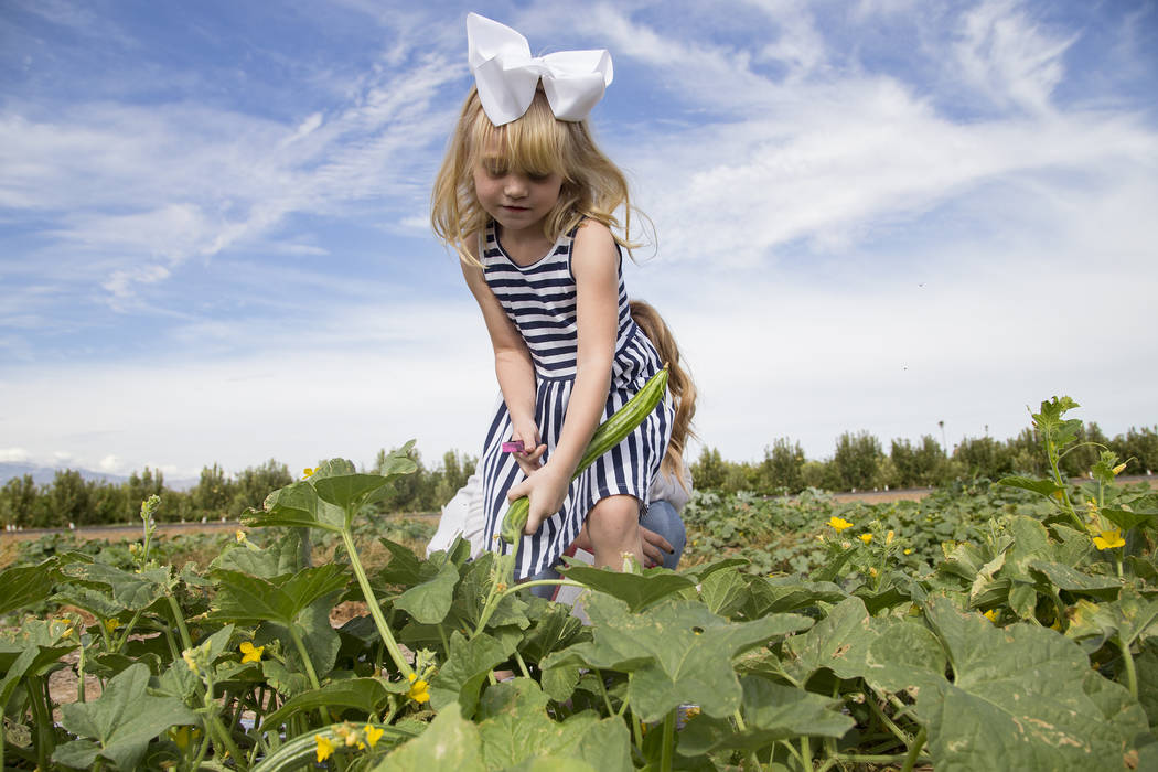 Natalie Garcia, 4, picks cucumbers at Gilcrease Orchard in Las Vegas, Thursday, Sept. 26, 2019. ...