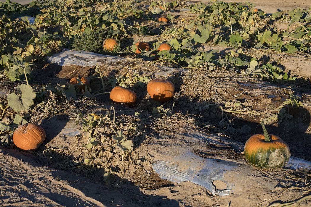 Pumpkins at Gilcrease Orchard in Las Vegas, Tuesday, Oct. 8, 2019. (Rachel Aston/Las Vegas Revi ...